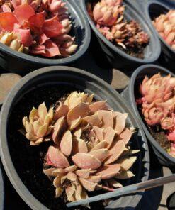 Sempervivum marmoreum bruneifolium
