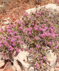 thymus praecox red carpet