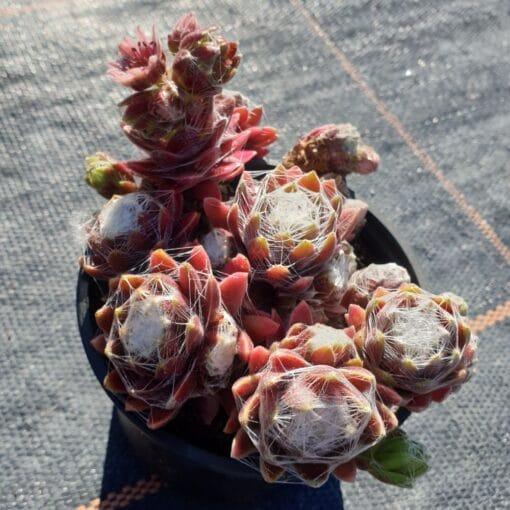 sempervivum arachnoideum rubrum